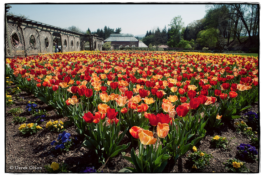 Thousands of tulips at Biltmore Estate's Festival of Flowers