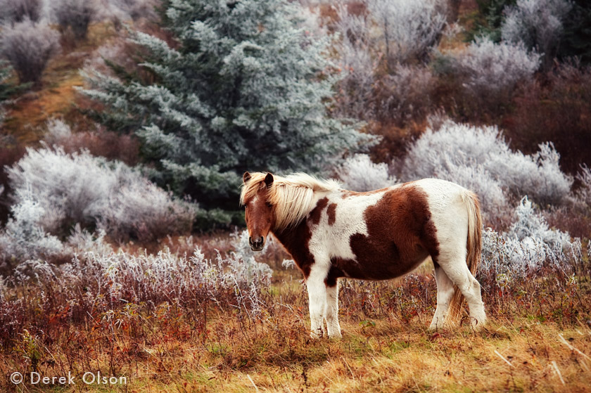 Wild pony, Grayon Highlands, Virginia