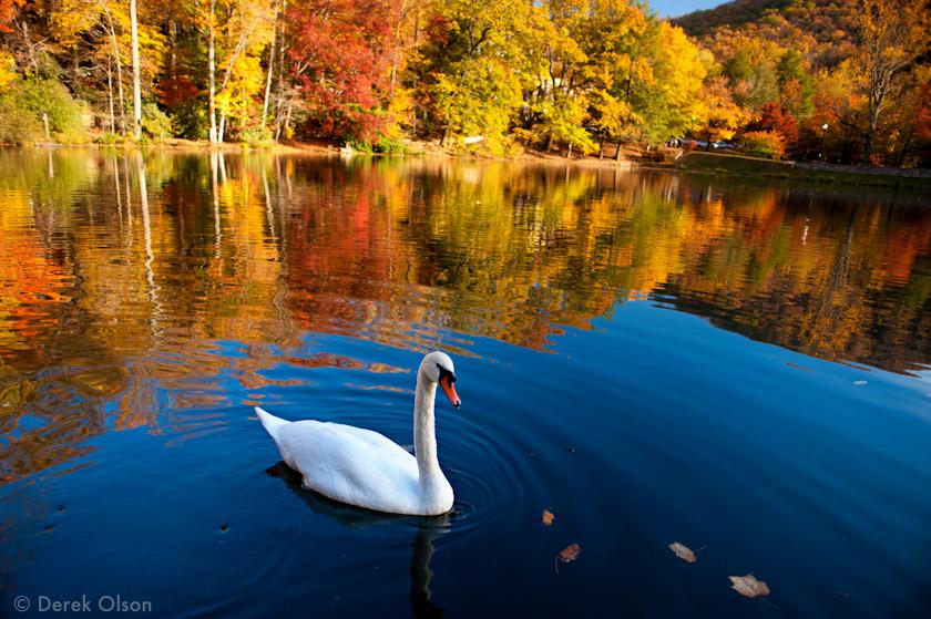 Lake Susan swan