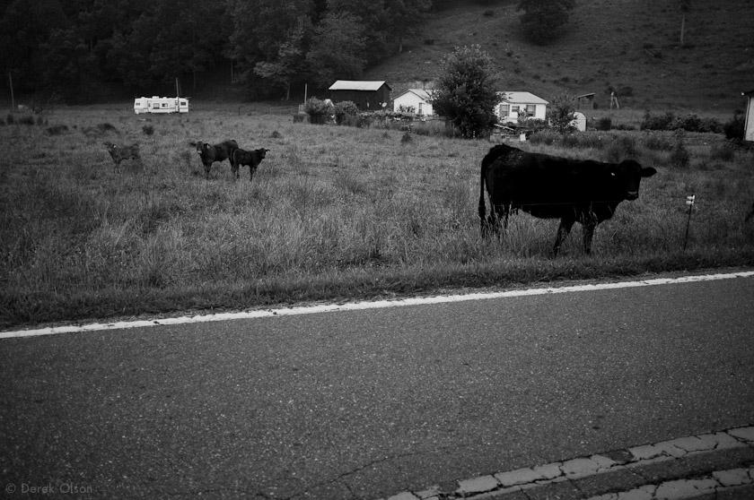 Rural cows