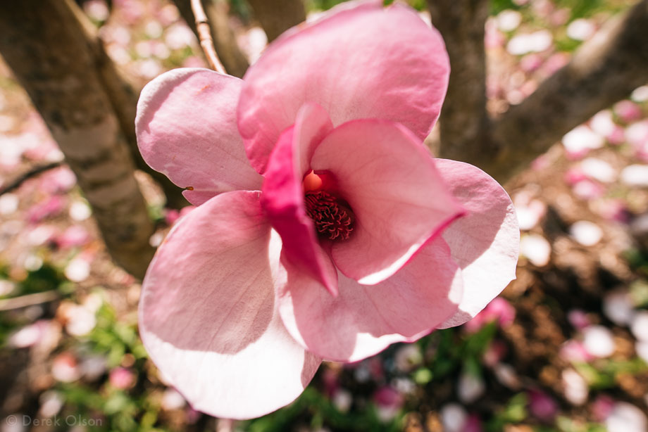 Close up of Japanese magnolia